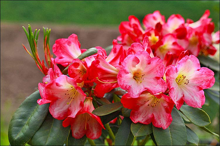 Rhododendron Flaming Comet