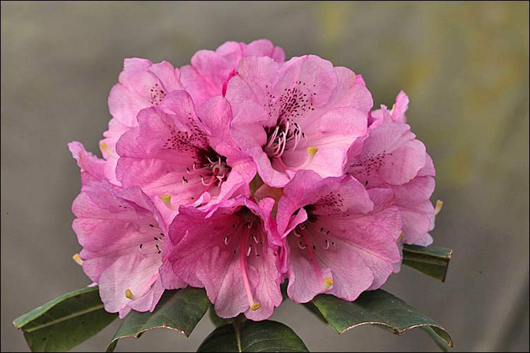 Rhododendron Fulbrook